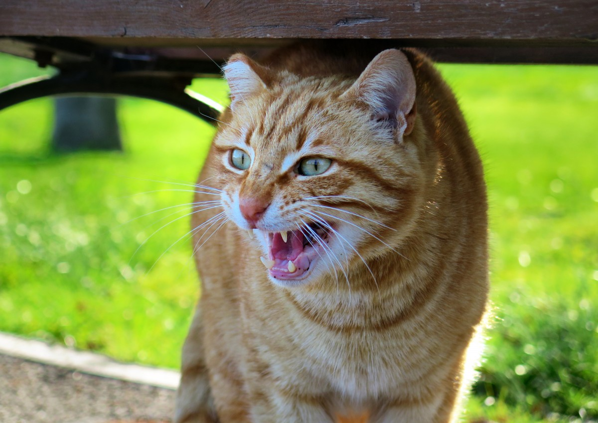 chat-colere